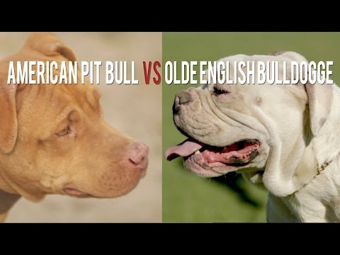 AMERICAN PIT BULL TERRIER vs. OLDE ENGLISH BULLDOGGE THE ORIGINAL AND THE REMIX