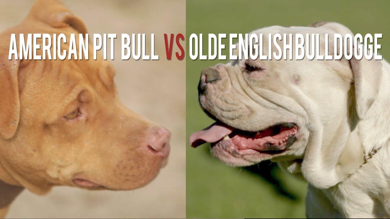 American pit bull terrier vs olde english bulldogge the original american pit bull terrier vs olde english bulldogge the original and the remix youtube nvjuhfo Images