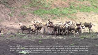 Wild dogs catching a waterbuck, the full version with previously left out parts. Viewer discretion.