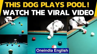This dog can play pool even better than most of us, Watch the video if you don't believe | Oneindia