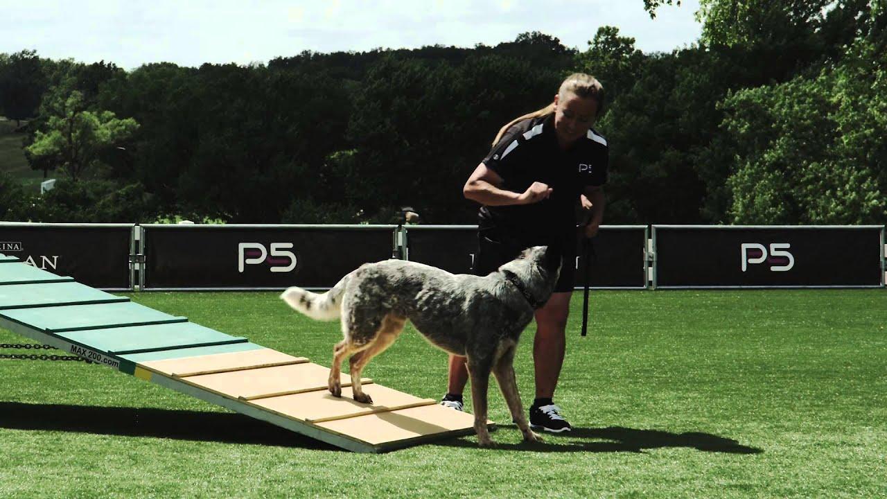 Dog Agility - A-Frame - Basic - Pro Plan P5 Training - YouTube