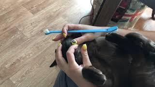 Чистка зубов кошке #какпочиститьзубыкошке