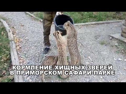 КОРМЛЕНИЕ ХИЩНЫХ ЗВЕРЕЙ В ПРИМОРСКОМ САФАРИ-ПАРКЕ
