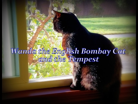Wanda the English Bombay Cat and the Tempest