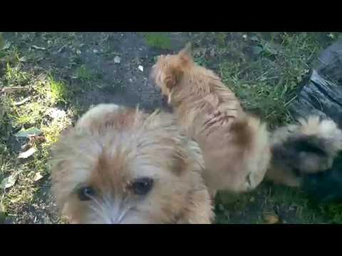 Alta Carya FCI Norwich Terriers - October 2016
