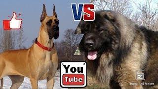 Кавказская овчарка против Королевского дога. Собаки. Animals Battle.