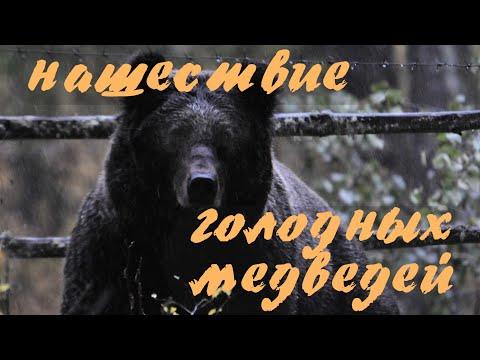 НАШЕСТВИЕ ГОЛОДНЫХ МЕДВЕДЕЙ [Алтай] Телецкое озеро. Altai Bears. Алтайский заповедник. Altai Reserve