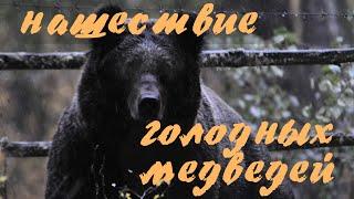 Алтай. Телецкое озеро. Нашествие голодных медведей. Altai bears.