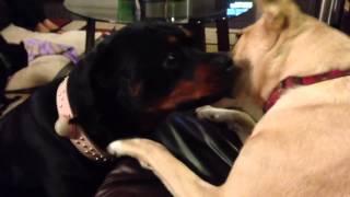 Rottweiler Vs Boxer/lab Mix