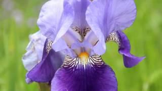 近所の花園を訪ねてみると、色鮮やかな初夏の花々が咲き誇っていた、ピ...