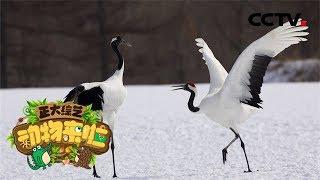 [正大综艺·动物来啦]选择题 视频中丹顶鹤的行为目的是什么?| CCTV