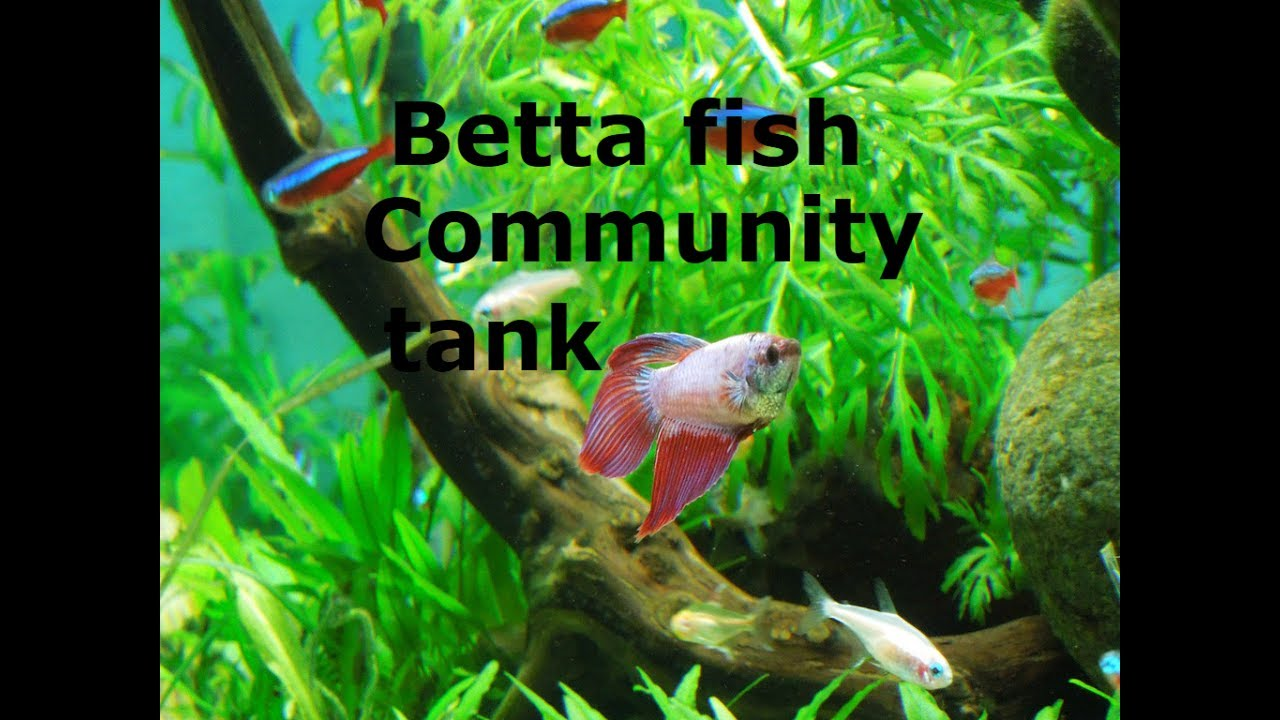 How to Add a Betta to a Community Tank pictures