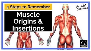 4 Steps to Remember Muscle Origins and Insertions