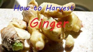 How to Harvest Ginger from Garden