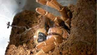 Tarantula Feeding Video 27 (Camel Spiders included!)