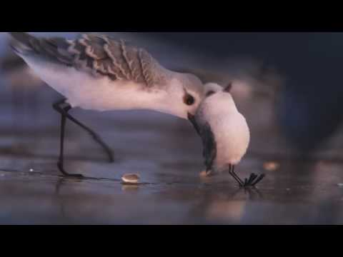 piper---nuevo-corto-de-pixar-animation-studios