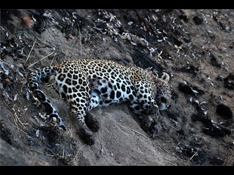 Leopard With A Warthog Kill - 2 July 2012 - Latest Sightings