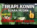 Terapi Konin Gacor Saat Hujan  Mp3 - Mp4 Download