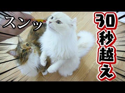 【自己新記録】オコジョ猫が30秒以上仁王立ち!