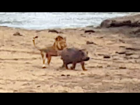 Thumbnail: Baby Hippo Protects Mother From Lion