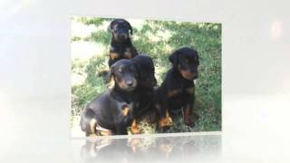 Doberman Pinscher Training