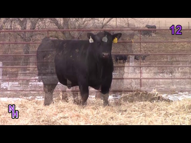 New Haven Angus Lot 12