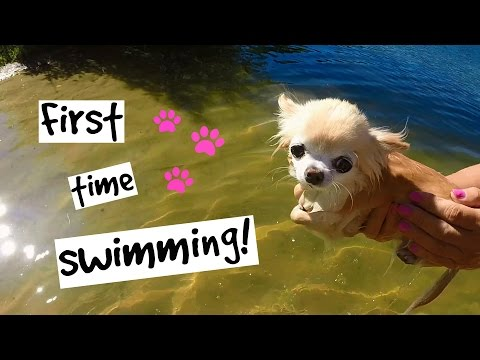 Cutest PUPPY Sized Chihuahua Swimming For The FIRST TIME
