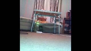 Собака с котом одни дома.Кот в шоке!!!(Собака отрывается в отсутствии хозяев,а кот в шоке., 2015-01-09T00:33:47.000Z)