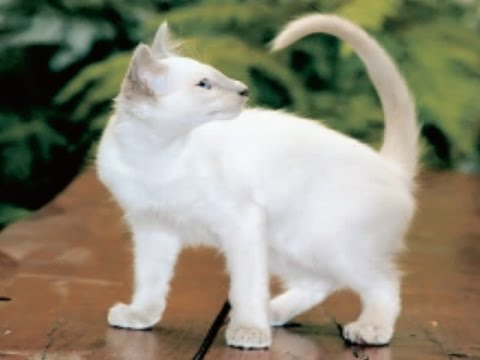 Balinese Cat Breed | The Reasons of Taking Balinese Cats at Home