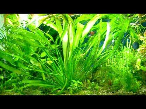 Эхинодорус уругвайский в аквариуме