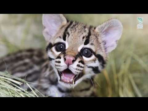 Ocelot - A Documentary