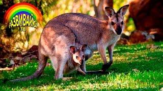 Животные для малышей. Животные Австралии. Развивающие мультики.