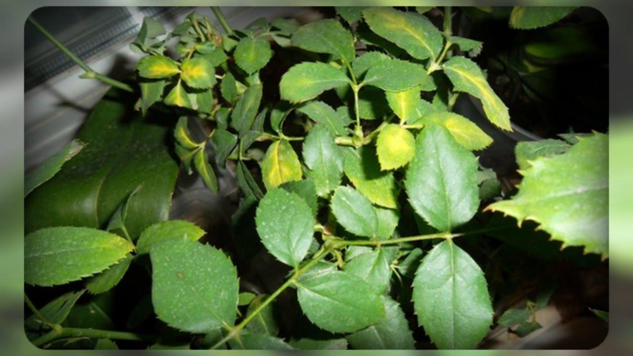 Болезни домашней розы и лечение желтеют и опадают листья народная медицина бориса болотова