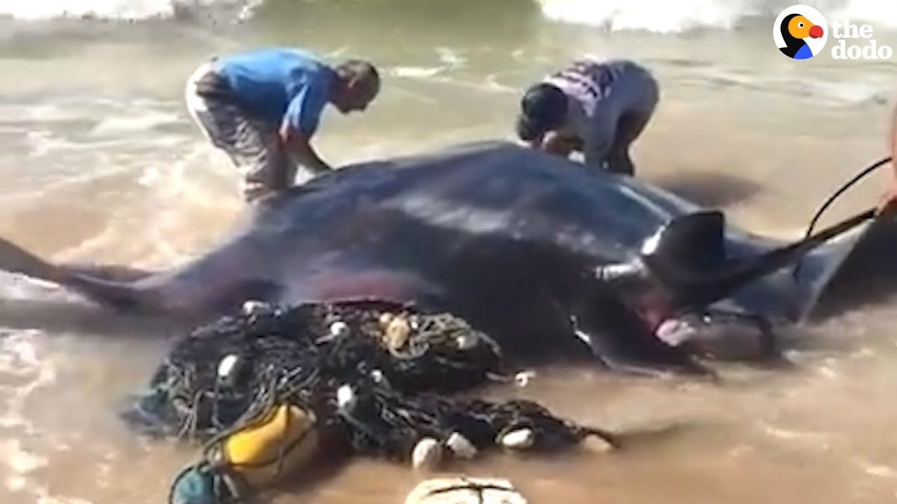 People Rescue Giant Manta Ray From Fishing Net  | The Dodo