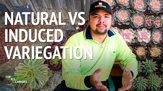 Natural vs induced variegation in succulents