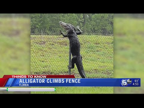 Doc Reno - So I guess Alligators can climb fences ....