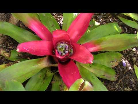 Bromeliad Impressions (Planta Brutt Video 7)