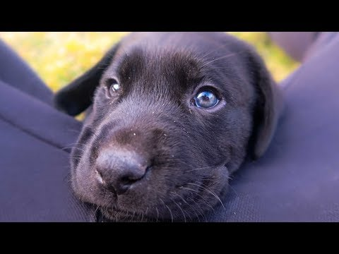 ANOTHER LABRADOR PUPPY?!