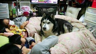 小さな布団で大人2名、子供二人とシベリアンハスキー犬達が 寝る前の遊...