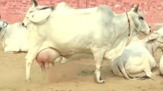 Baixar Pure desi cow no1 (2017)