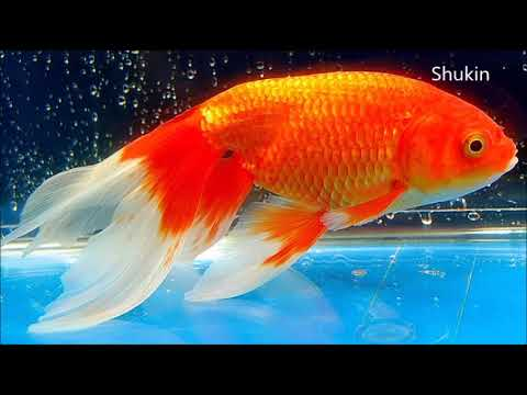 21 different types of Goldfish - YouTube