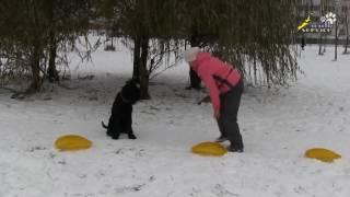 Собака порода Ризеншнауцер, обучение игнорировать, не подбирать корм на земле