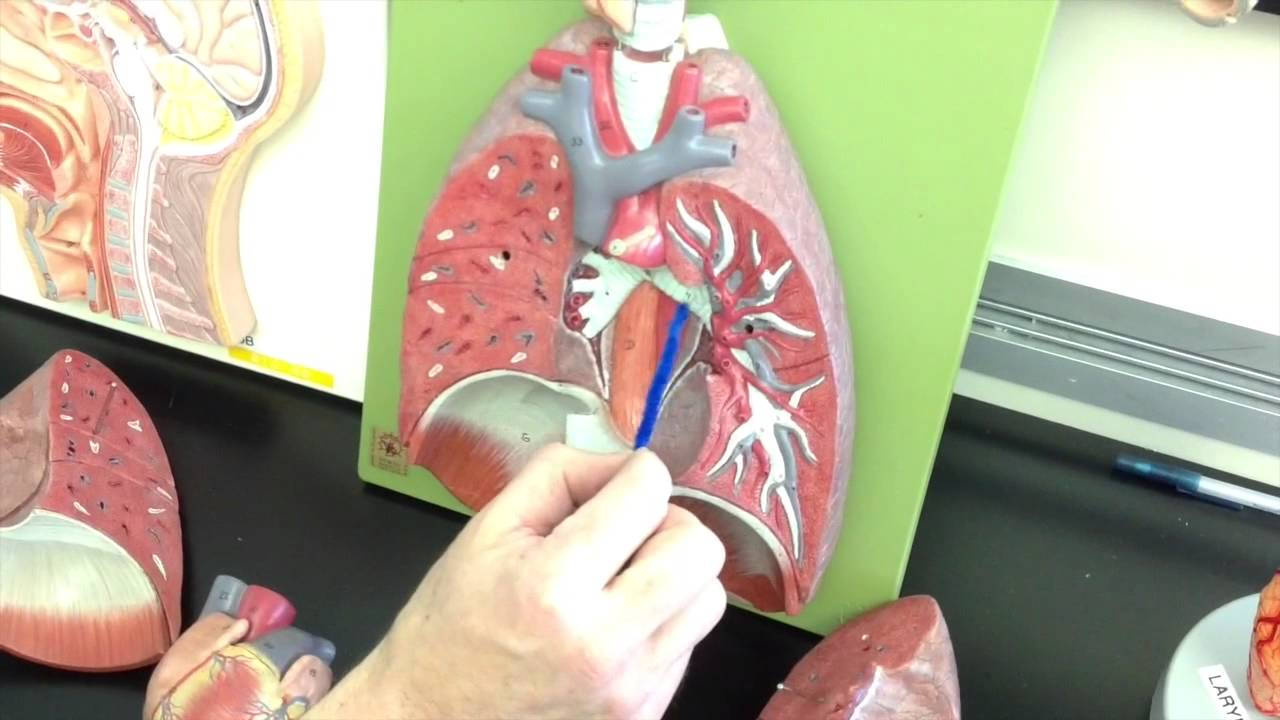 Jonathan Christie PCC 233: Week 1: Lab model on Respiratory System w ...