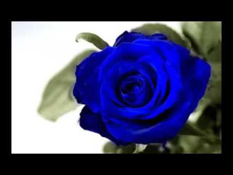 Blue Rose Wallpaper Youtube