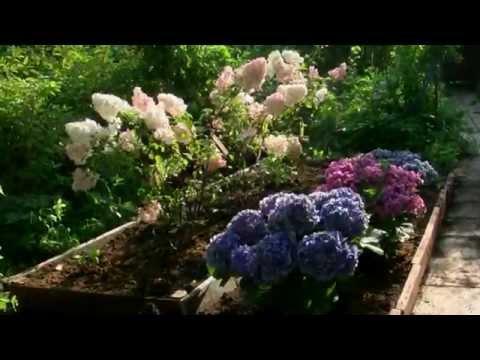 Гортензия в саду на востоке Подмосковья