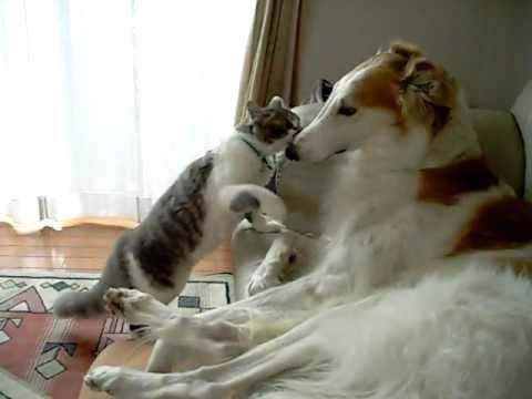 カッコいい大型犬「ボルゾイ」の魅力 飼い方 お値段は?|犬の総合情報サイト ペットスマイルニュースforワンちゃん