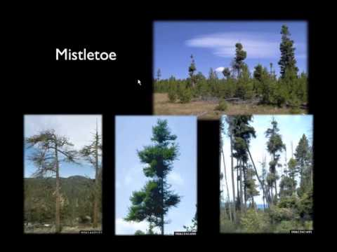 The Ecology of Dry Mixed Conifer Forests—What Makes Them Unique?