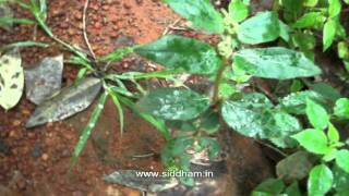 Herbal Medicine - Euphorbia hirta - Natural Remedy for Warts