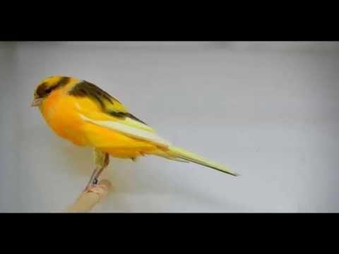 Terapi Burung Kenari ( SINGING CANARY )