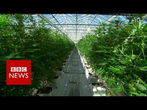 Take a look inside the world's largest legal cannabis farm - BBC News